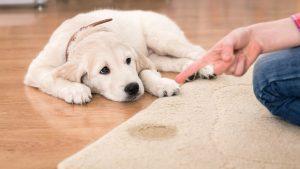 پاک کردن سریع ادرار از فرش و موکت